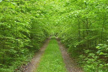 Path through Beech Forest  Hainich National Park  Thuringia  Germany  Europe