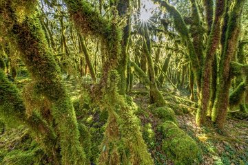 Trees covered with moss (Antitrichia curtipendula)  Bugey  Ain  France. This type of mossy forest is associated with shady valleys to the atmosphere very humid in all seasons