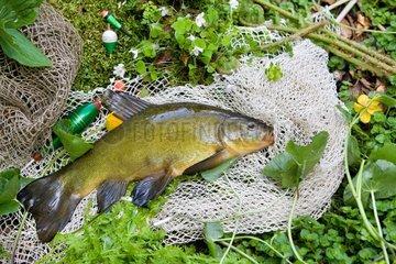 Tench (Tinca tinca)  male in nuptial colors  Belfort  France