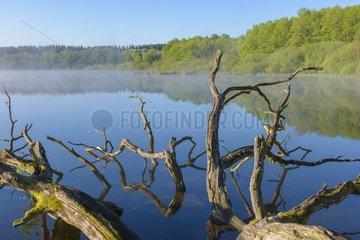 Dead Tree (Oak Tree) in Lake  Lake Rothenbachteich  Grebenhain  Vogelsberg District  Hesse  Germany  Europe