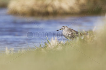 Wood Sandpiper on the bank - Auvergne France