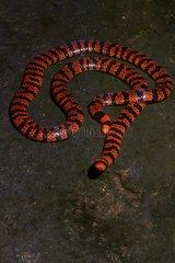 American pipe snake  False Coral Snake (Anilius scytale  ex Anguis atra annulata scytale) - Petit-Saut - French Guiana