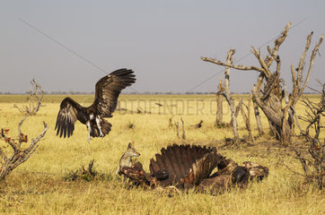 Jackals and vultures on carcass Buffalo - Botswana Savuti