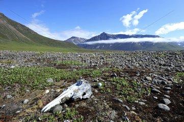 Denmark. Greenland. Disko Island. Skull of whale on the beach of Qassigisat.