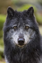 Canada wolf - The House of Wolves - Orlu - Ariege - France