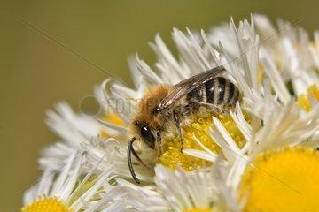 Plasterer Bee (Colletes similis) female on annual fleabane (Erigeron annuus) 19 June 2015 Northern Vosges Regional Nature Park  France ranked World Biosphere Reserve by UNESCO  France