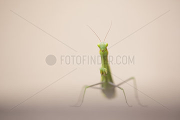 Praying mantis female on ground - Alsace France