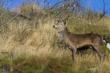 Scottish deer (Cervus elaphus scoticus) in the moor. Isle of Jura  Scotland