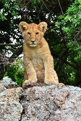 Tanzania. Serengeti national parc. Lion cub on a rock.