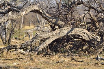 Young Leopard in a fallen tree - Khwai Botswana