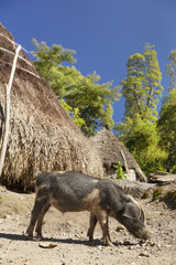 Pig in front of straw huts - Gunung Mutis NR Timor Indonesia
