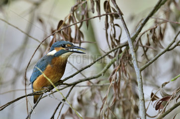 Common Kingfisher with fish - Burgundy France