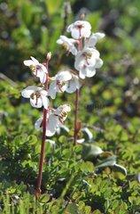 Denmark. Greenland. West coast. Pyrola blooming (Pyrola grandiflora)