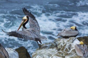 Brown pelican (Pelecanus occidentalis)  La Jolla  San Diego  California  Usa  America