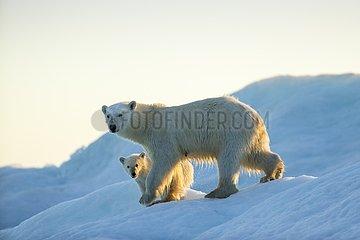 Polar Bear and Cub (Ursus maritimus) walking on sea ice at sunset near Harbour Islands  Repulse Bay  Nunavut Territory  Canada