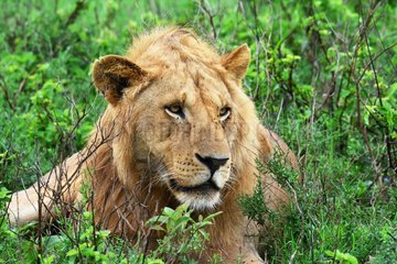Tanzania. Serengeti national parc. Portrait of a young male lion.