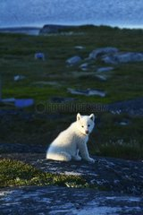 Denmark. Greenland. West coast. Disko Island. Young dogsled in the village of Qeqertarsuaq.
