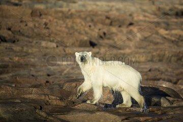 Polar Bear (Ursus maritimus) walking along shorelines after swimming in Hudson Bay at sunrise near Arctic Circle  Repulse Bay  Nunavut Territory  Canada