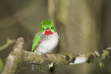 Narrow-billed Tody on a branch Dominican republic
