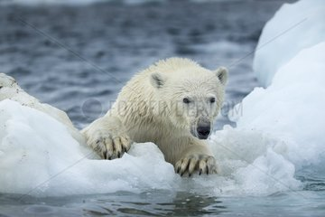 Polar Bear (Ursus maritimus) climbing onto melting sea ice near Harbour Islands  Repulse Bay  Nunavut Territory  Canada