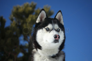 Portrait of Siberian Husky - France