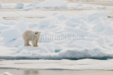 Polar bear male on ice - Northern Spitsbergen