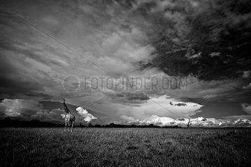 Giraffes roam the Masai Mara  under a cloudy sky .