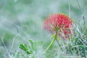 Blood lily flower in Kruger National park  South Africa