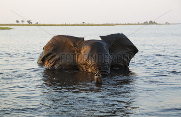 African Elephant in the Chobe river - Botswana