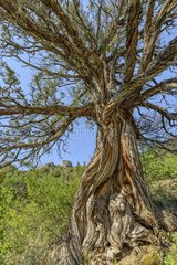 Cade (Juniperus thurifera) Thuriferaie St Crépin (05) stand junipers thuriferous unique in Europe  the largest station  known since 1786. Some junipers reach 7-8 m high and an individual exceeds 1000 years.