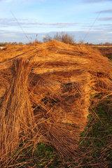 Bundles of reeds - Camargue France