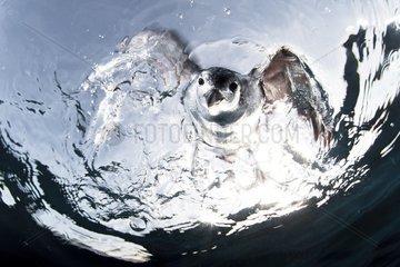 Hawaiian Petrel diving. Hawai