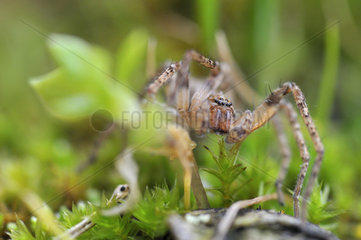 Labyrinth spider - France