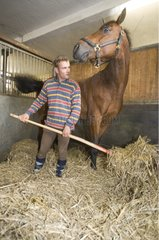 Groom is puting a straw bottom in horsebox of Selle Français