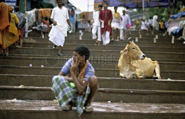 Holy cow lying on the steps Vârânaçî India