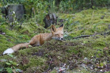 Young Red Fox lying down on moss