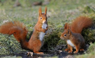 Red squirrels on a frozen stream in winter Vosges France