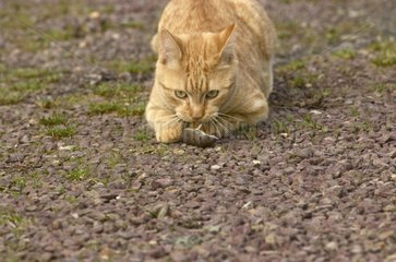 Young Red Tigray Cat playing with a dead Shrew