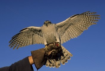Northern Goshawk on the fist of the falconer Morocco