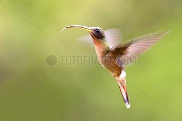 Rufousbreasted Hermit in hovering flight Venezuela