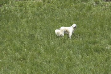 Pyrean moutain Dog in moutain pasture Alps