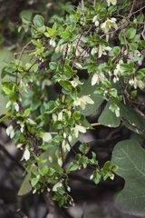 Clematis in bloom in a garden