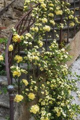 Lady Banks rose-tree in bloom climbing on stairs
