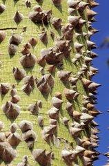 Trunk of bombacaceae La Réunion
