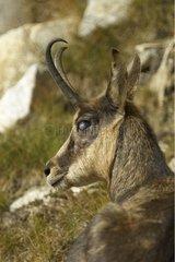 Ill Chamois surprised lying Mercantour National Park