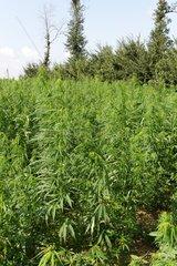 Legal field of Marijuana