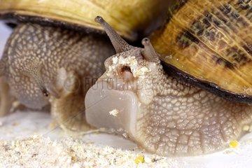 Gros gris snail eating vegetal yeast