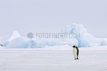 Emperor penguin walking on the ice Antarctica
