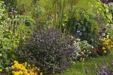 Mixed-border de Sauge officinale en fleur dans un jardin