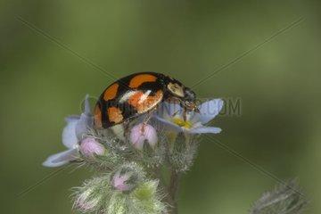 Ladybrid posed on a flower Bourgogne France